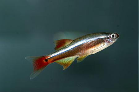 фото кардинал рыба